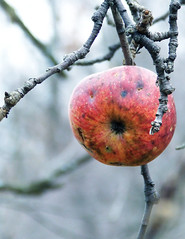 wild apple in November, central Pennsylvania