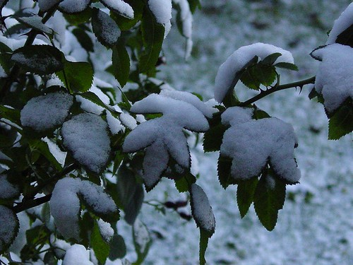 Snow on Rose Bush