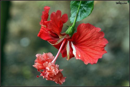 Hibiscus El Capitolio Bloody Mary