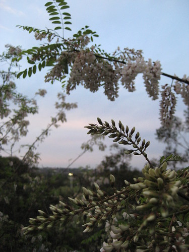 Black locust, white flowers