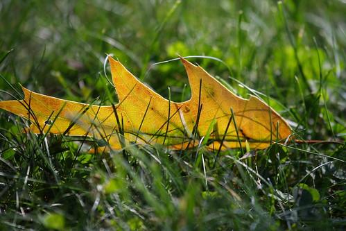 Oak Leaf in the Grass