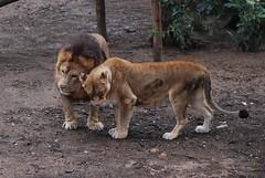 Löwen in der Safari de Peaugres