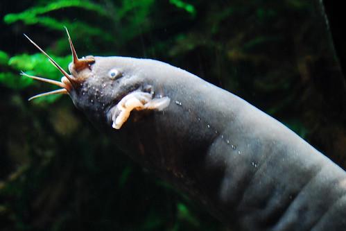 A razor fish(?).