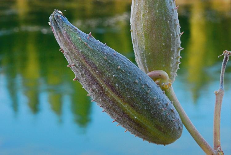Showy milkweed seed pods