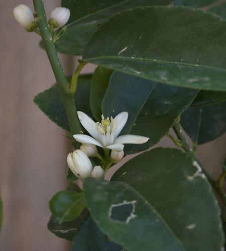 Lime Tree 01