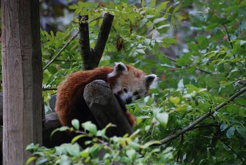 Roter Panda in der Safari de Peaugres