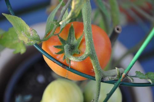 Erste Tomate