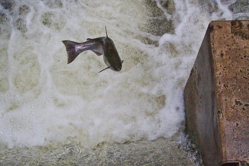 Flying Salmon