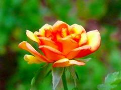July 5  2009 miniature rose
