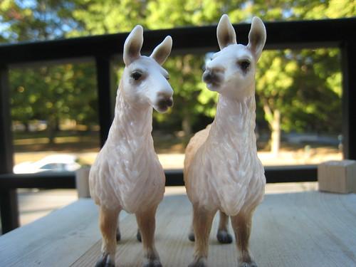 llamas after