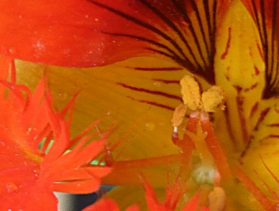 no, its not some exotic sea creature.. its the very middle of the above nasturtium flower...