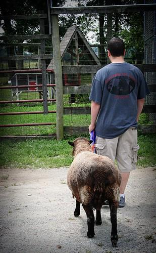 Henry's Ark: Sheep