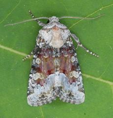 9415 - Bridgham's Brocade - Oligia bridghamii