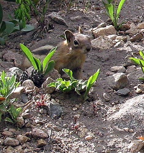 Ein Streifen-Squirrel