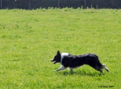 Working Dog In Action - Hay-on-Wye