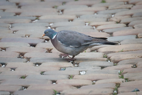 Woodpigeon by you.