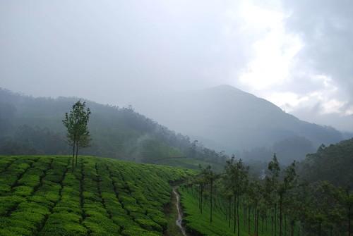 Tea gardens of Munnar, India