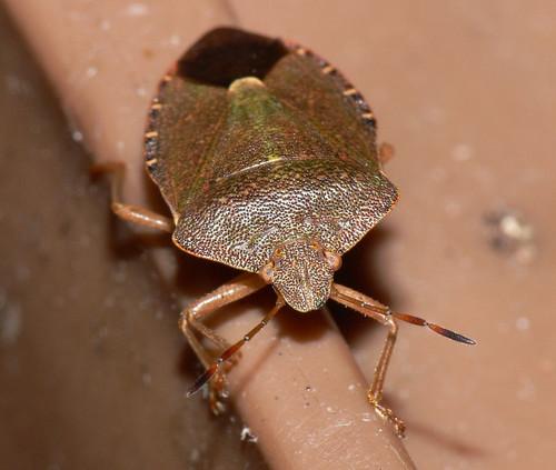Common Green Shieldbug (Palomena prasina) in winter colours