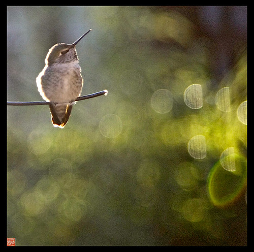 Another frigid morning (18 degrees) for my Annas Hummingbird