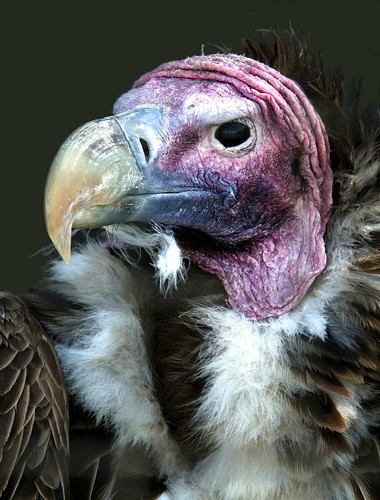 Lappet faced vulture (torgos tracheliotus) by hawkgenes.