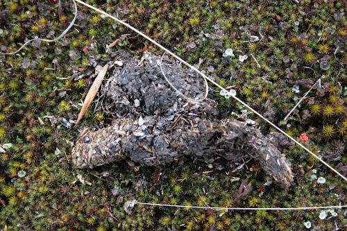 Scat with grasshopper bits