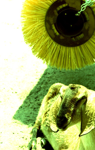 X-Pro Goat. (Fuji Velvia 50 — Cross-Processed. Nikon F100. Epson V500.)