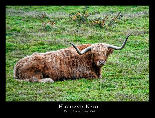 HIGHLAND KYLOE