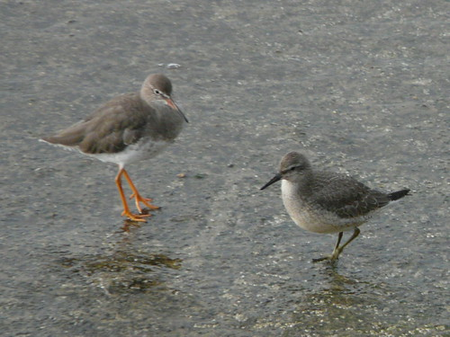 Redshank and Knot