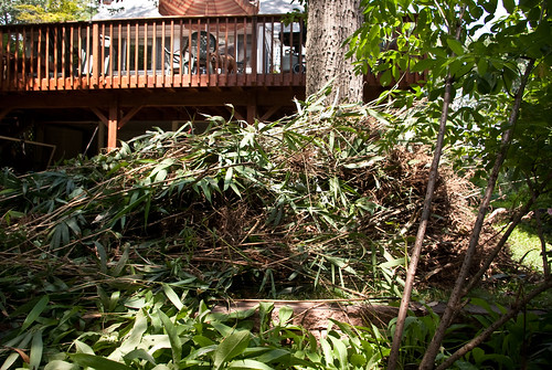 uprooted bamboo
