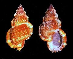 Granulate Frog Shell - Bursa granularis