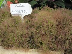 Greenish plant