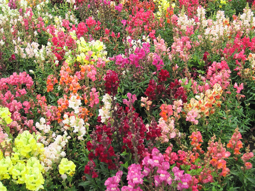 Snapdragons by you.