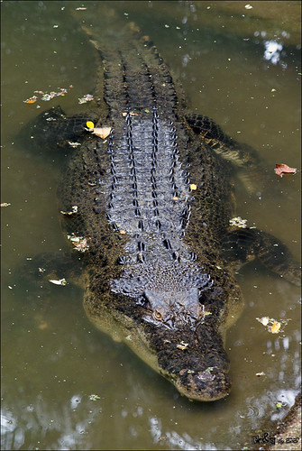 Estuarine Crocodile (Crocodylus porosus)