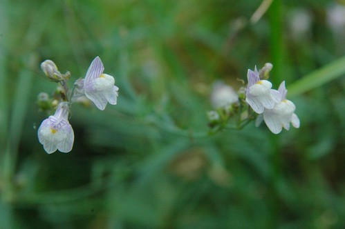 Linaria, unidentified species (my fault, for it is common)