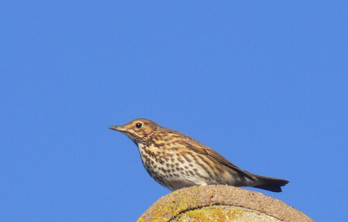 Song thrush on the roof