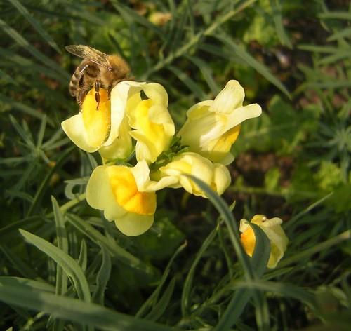Biene an Löwenmäulchen 2
