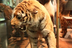 AMNH- Stuffed Tiger