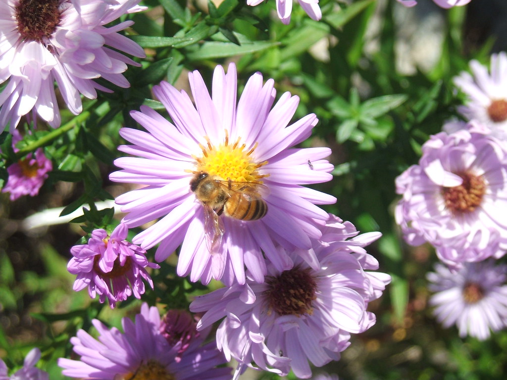 Bee on aster blossom