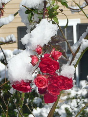 Snow on roses