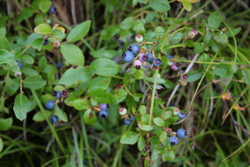 Blueberry, Vaccinium sp