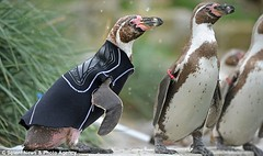 a penguin wearing a wetsuit made out of a pant leg
