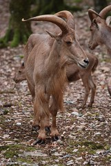 Steinbock im Parc animalier de Gramat