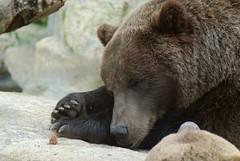 Braunbär im Zoo Parc de Beauval