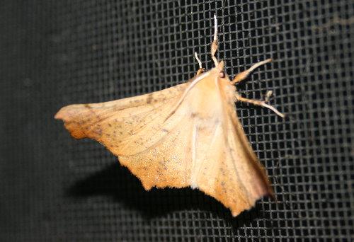 6797 - Ennomos magnaria - Maple Spanworm1