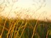 gold grass