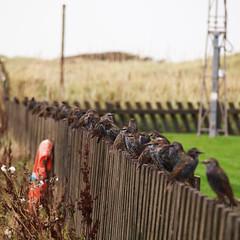 Starlings near Crosby Beach - very noisy but cute.