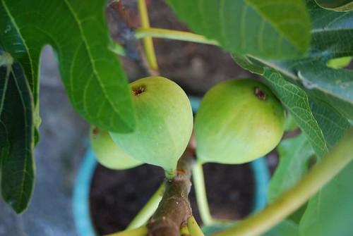 Ficus caricas