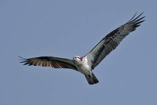 Osprey - Free as a bird one minute... by pheanix300.
