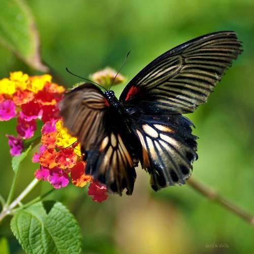 Great Mormon Swallowtail {papilio memnon}