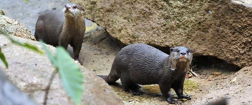 two Asian otters in a rocky enclosure